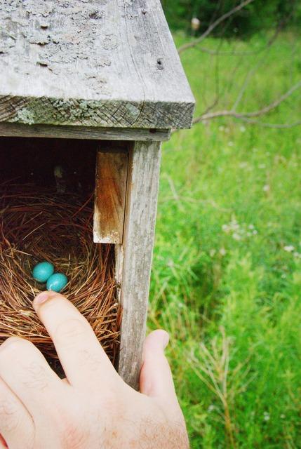 Blue Jay ägg
